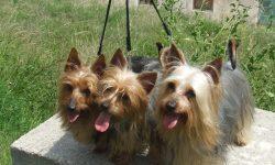 Australian Silky Terrier HD pics