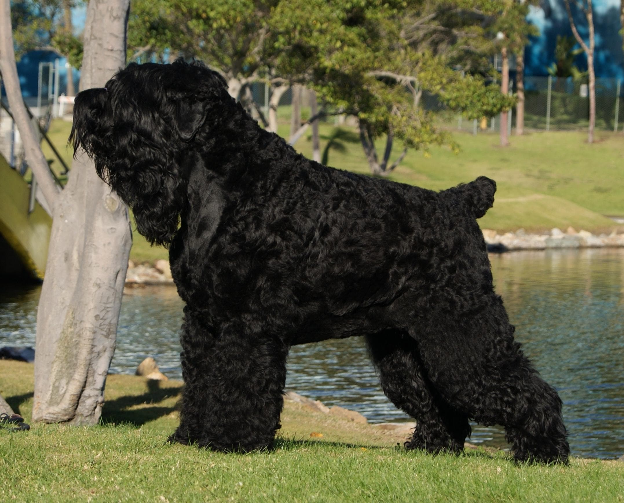 Black Russian Terrier HD pics