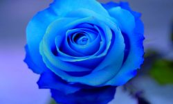 Blue Rose HD pics