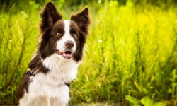 Border Collie HQ wallpapers