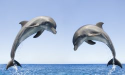 Bottlenose dolphins HD pics