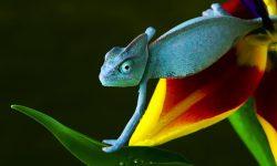 Chameleon HD pics