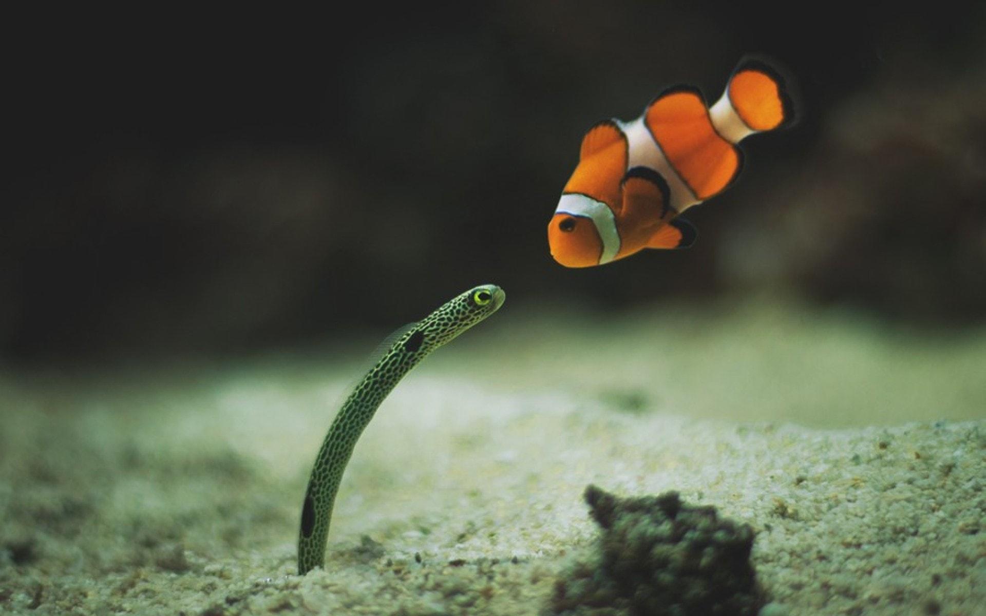 Clownfish HD pics