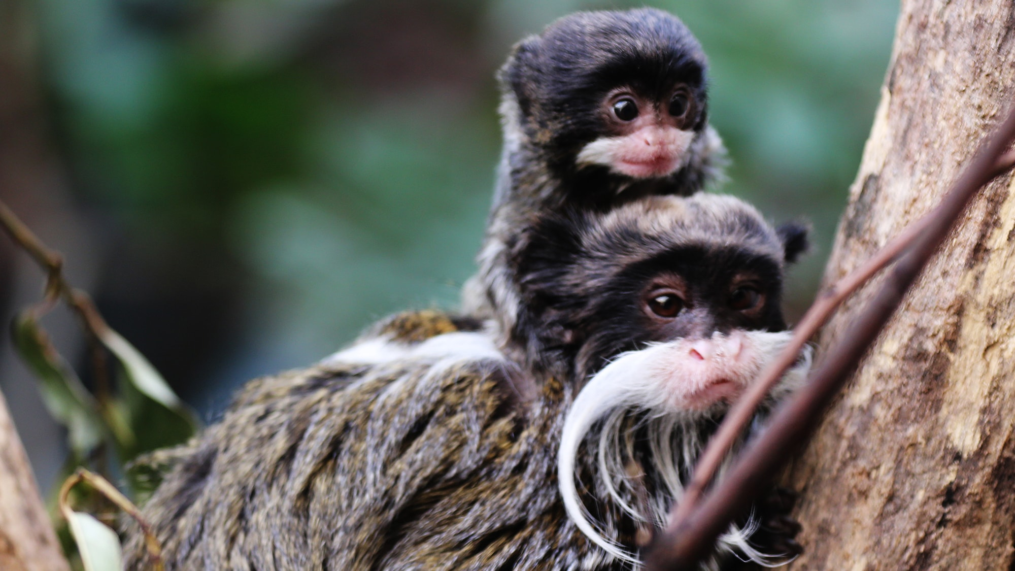 a study on the emperor tamarin monkey in eastern peru An emperor tamarin (also known as the brockway monkey) (saguinus imperator) in the rain forest of peru in south america photo taken on: may 31st, 2015.