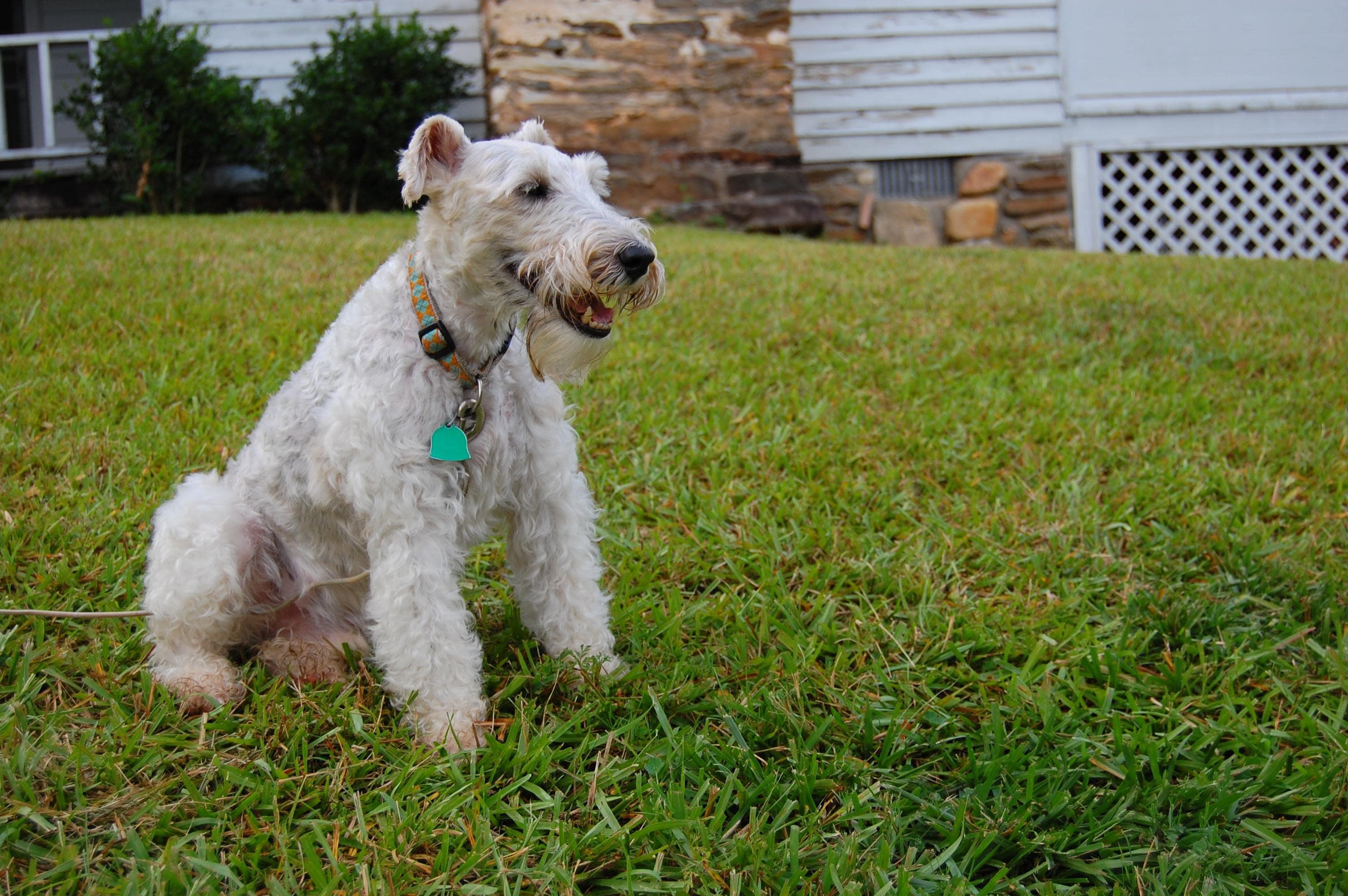 Fox Terrier HD pics