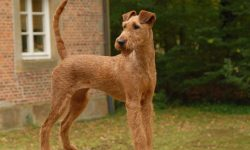 Irish Terrier HQ wallpapers