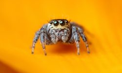 Jumping spider HD pics