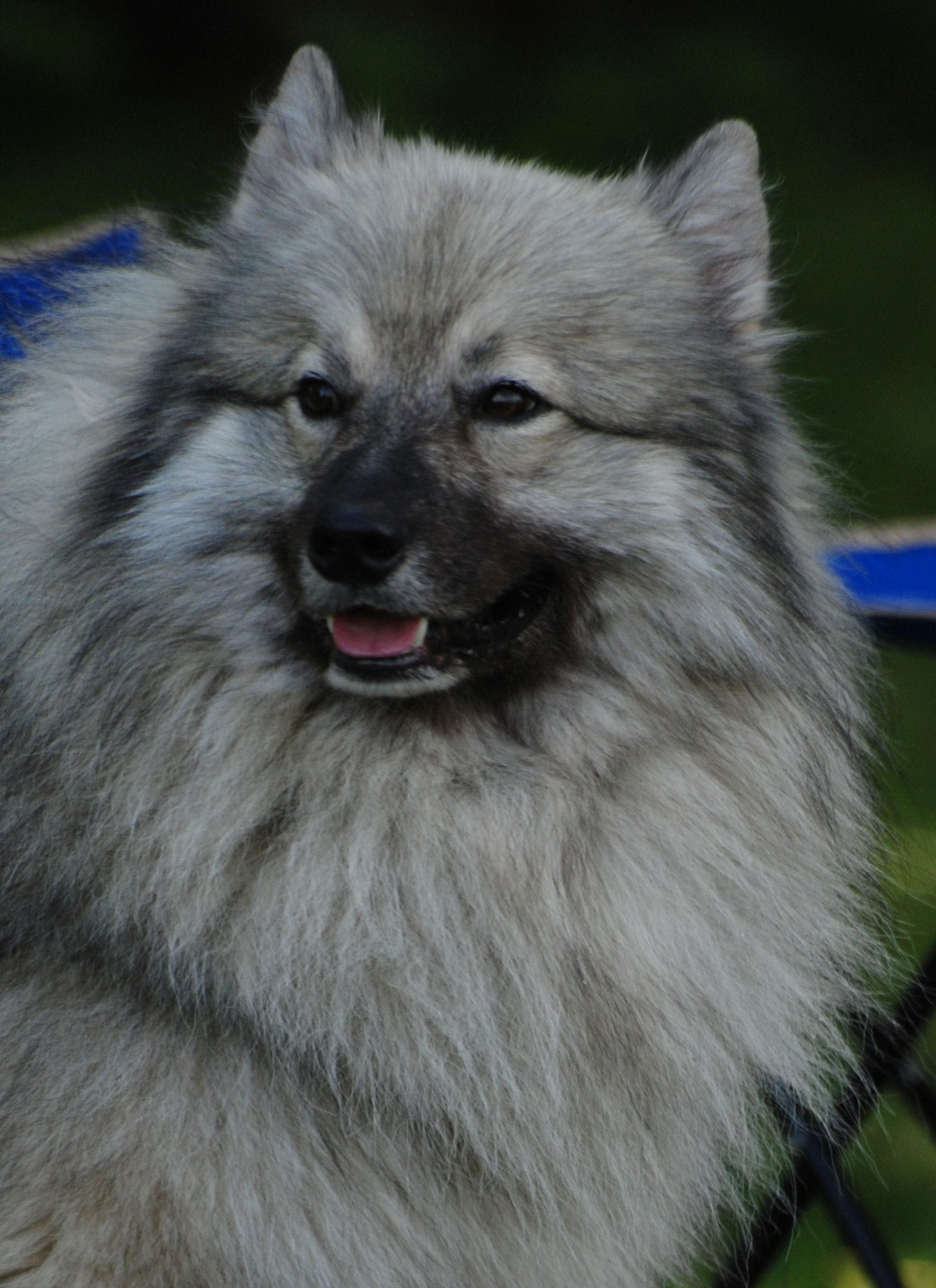 Keeshond For mobile