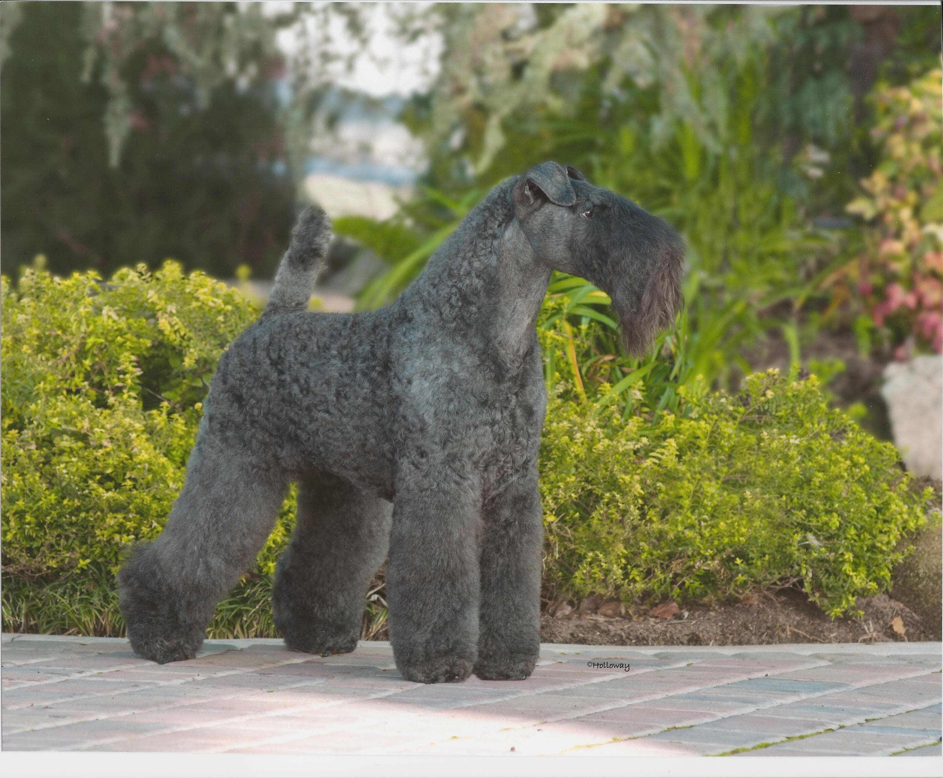 Kerry Blue Terrier HD pics