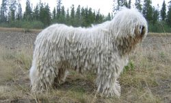 Komondor Wallpapers hd