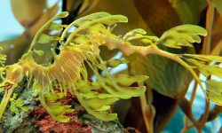 Leafy Seadragon HD pics
