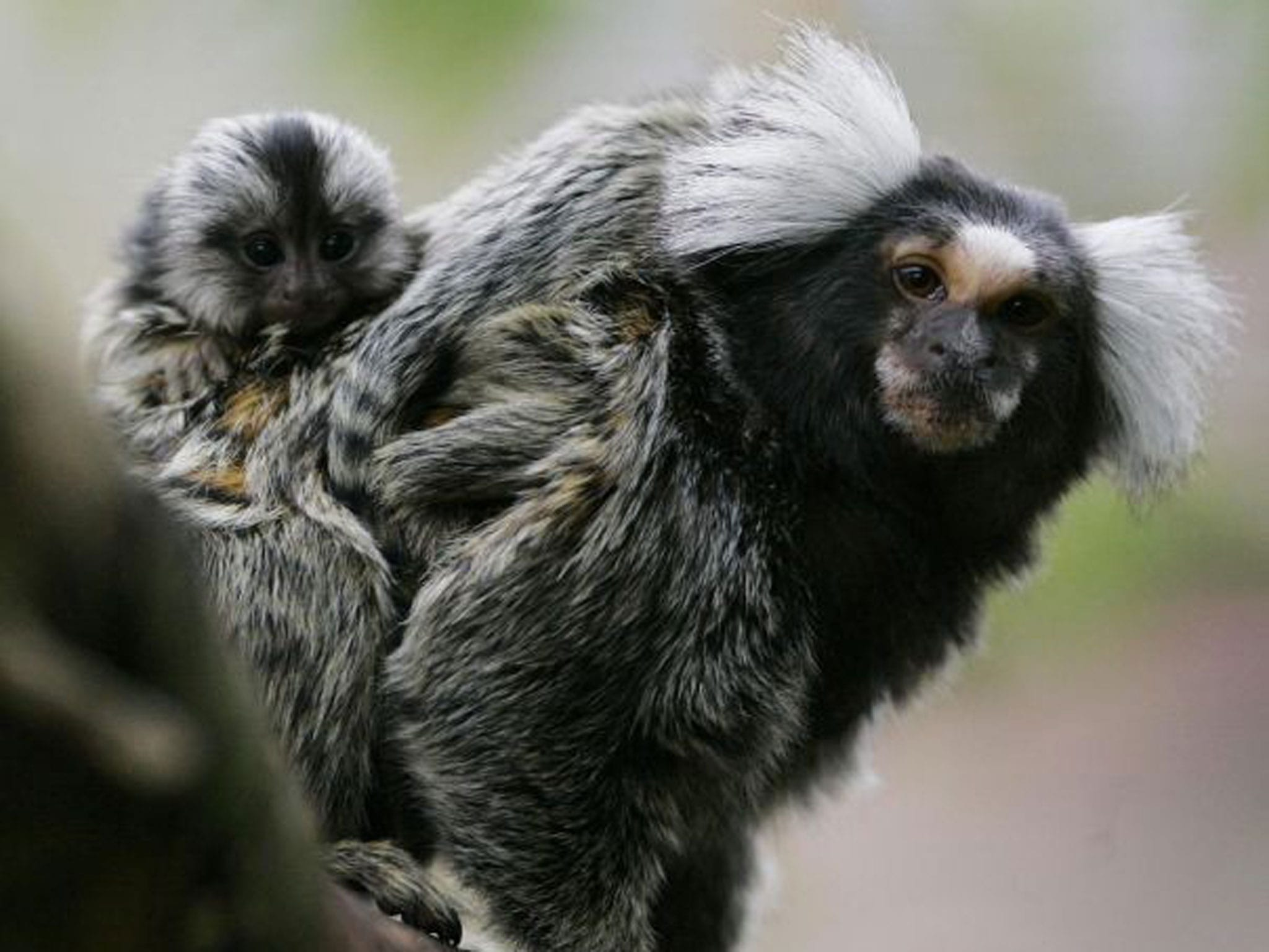 Marmoset monkey HD pics