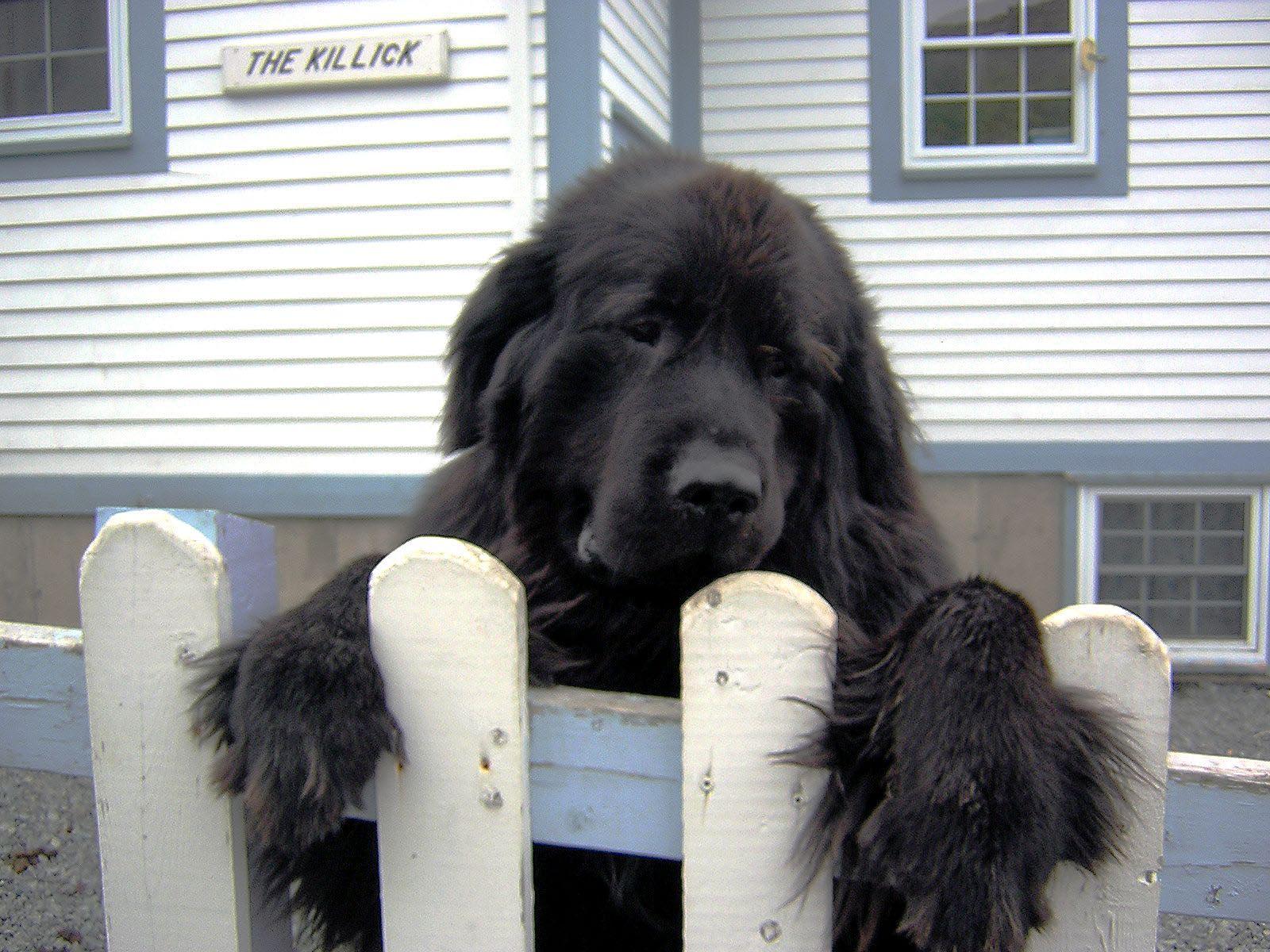 Newfoundland Dog HD pics
