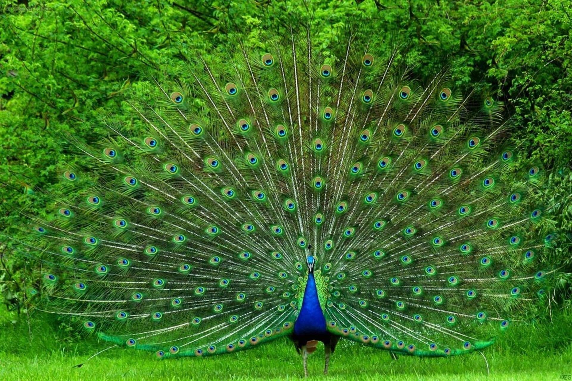 Peacock HD pics