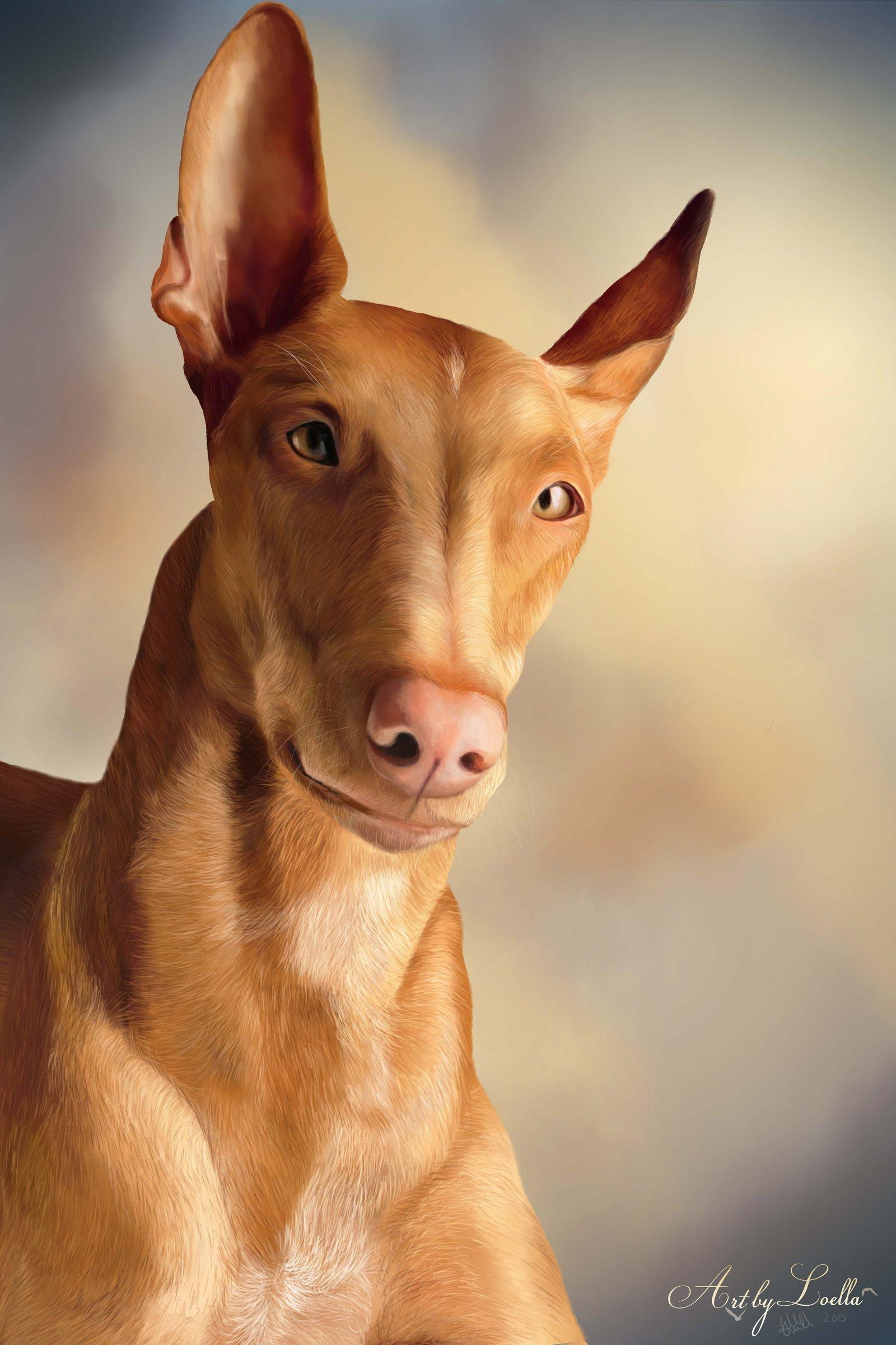 Pharaoh hound HD pics