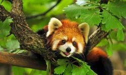 Red panda HD pics