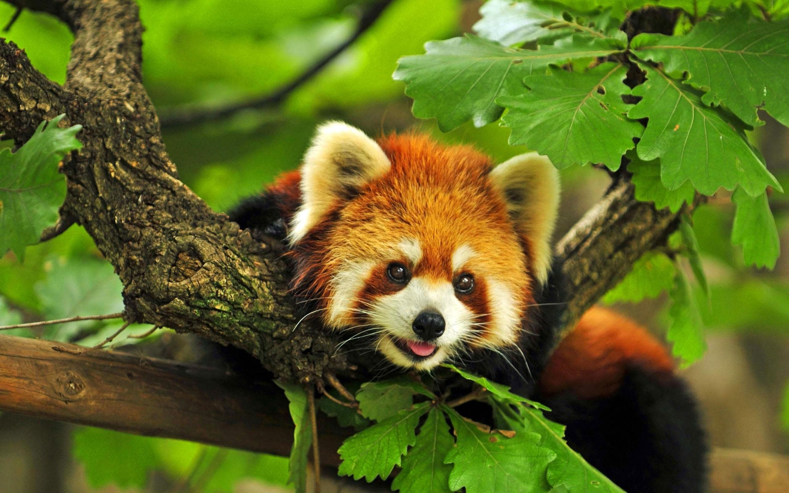 Red panda HD pics