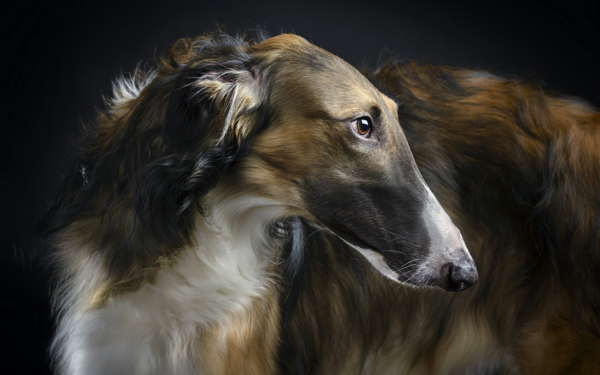 Russian Wolfhound HD pics