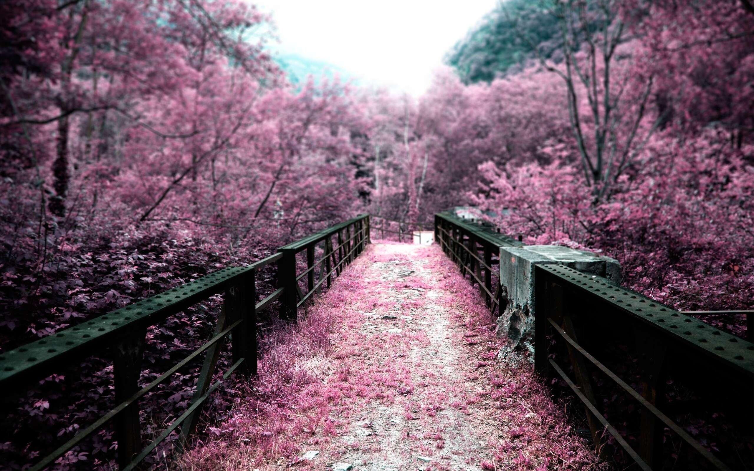 Sakura flower HD pics