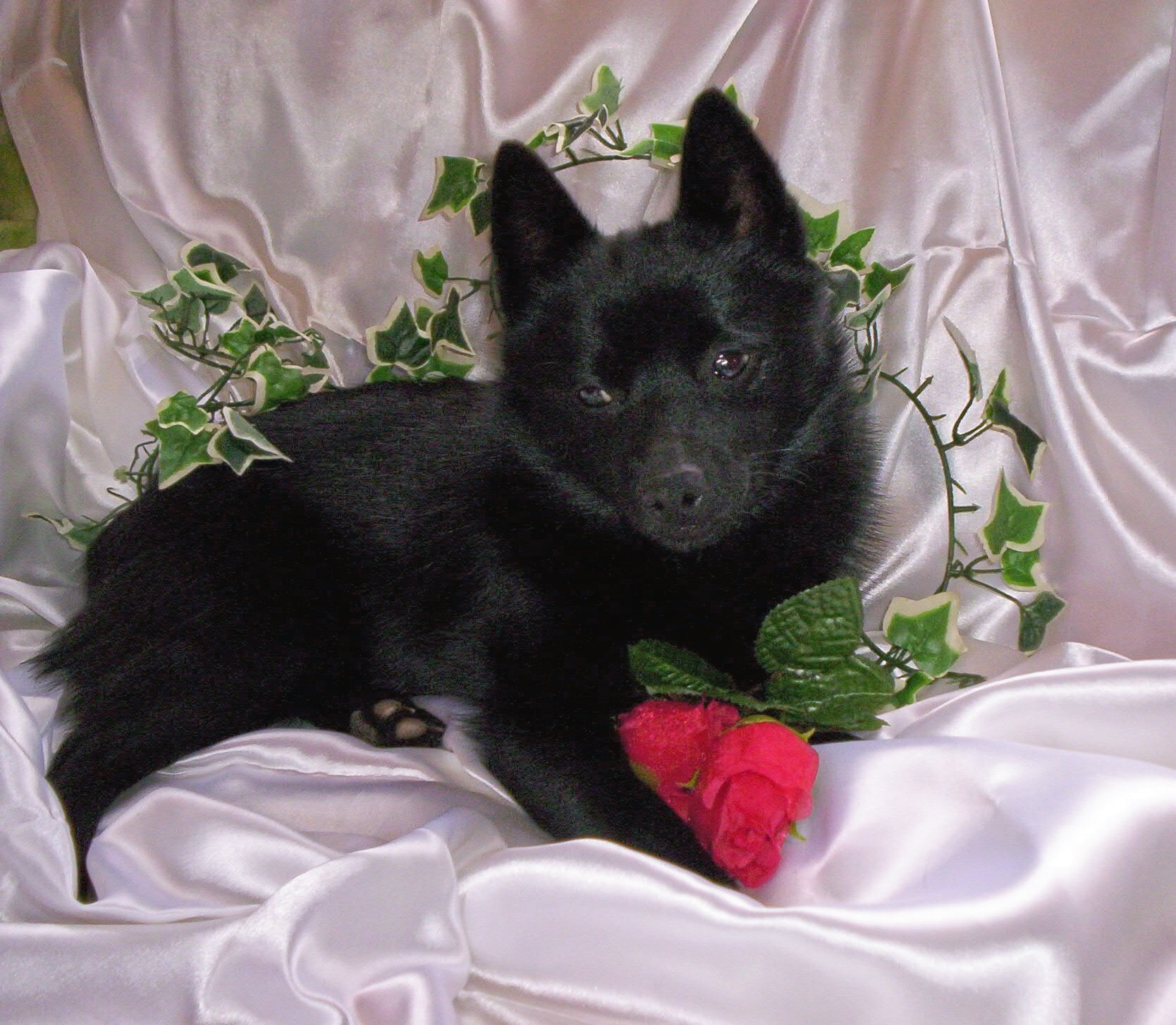 Schipperke Wallpapers hd