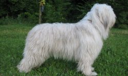 South Russian Sheepdog HD pics