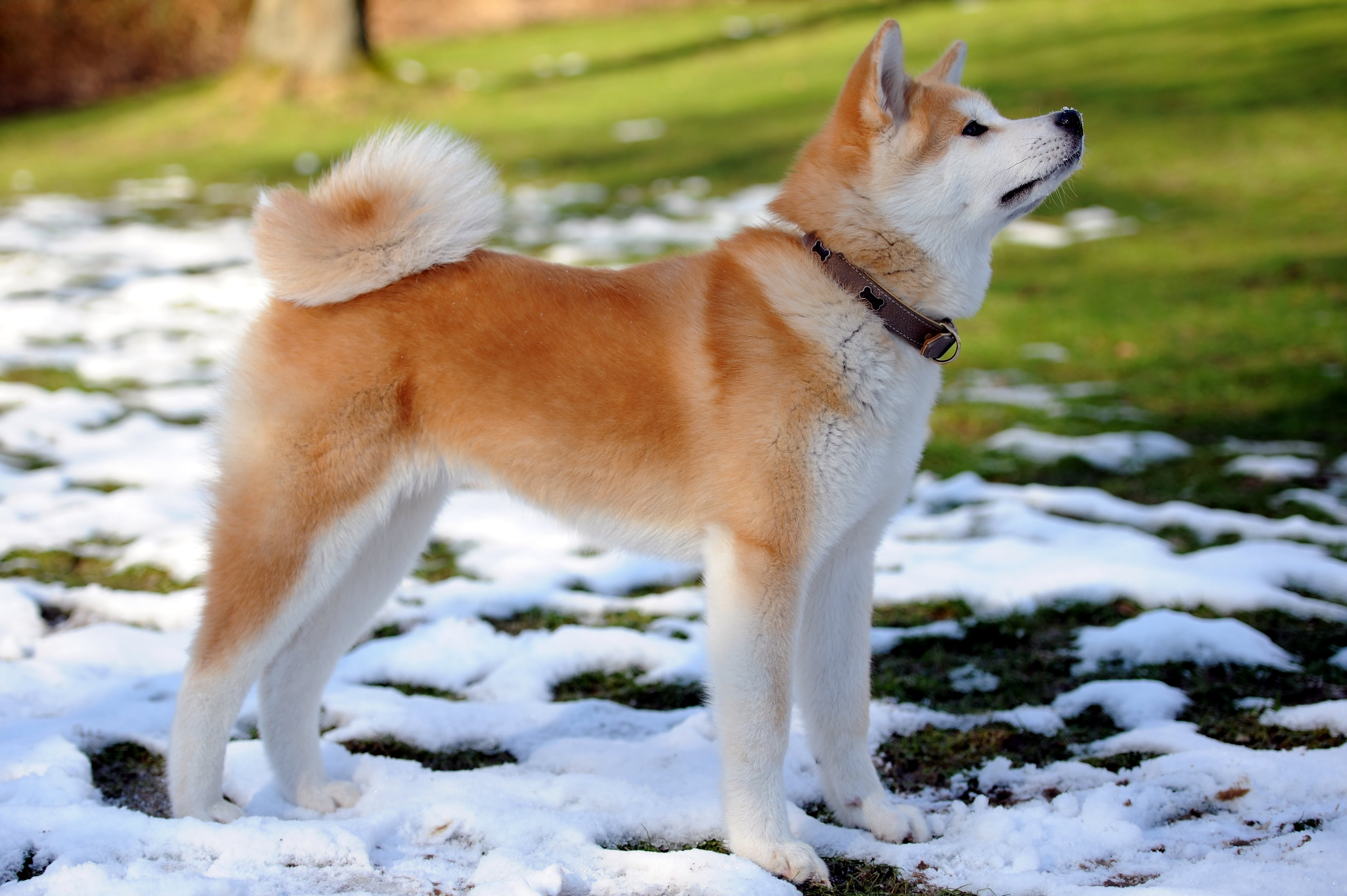 Akita Inu Wallpapers hd