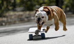 American Bulldog Wallpapers hd
