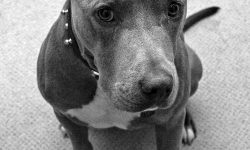 American Pit Bull Terrier For mobile