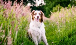 Australian Shepherd Wallpapers hd
