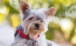 Australian Silky Terrier Wallpapers hd