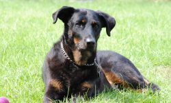 Beauceron Wallpapers hd