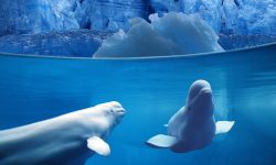 Beluga Whale Wallpapers hd