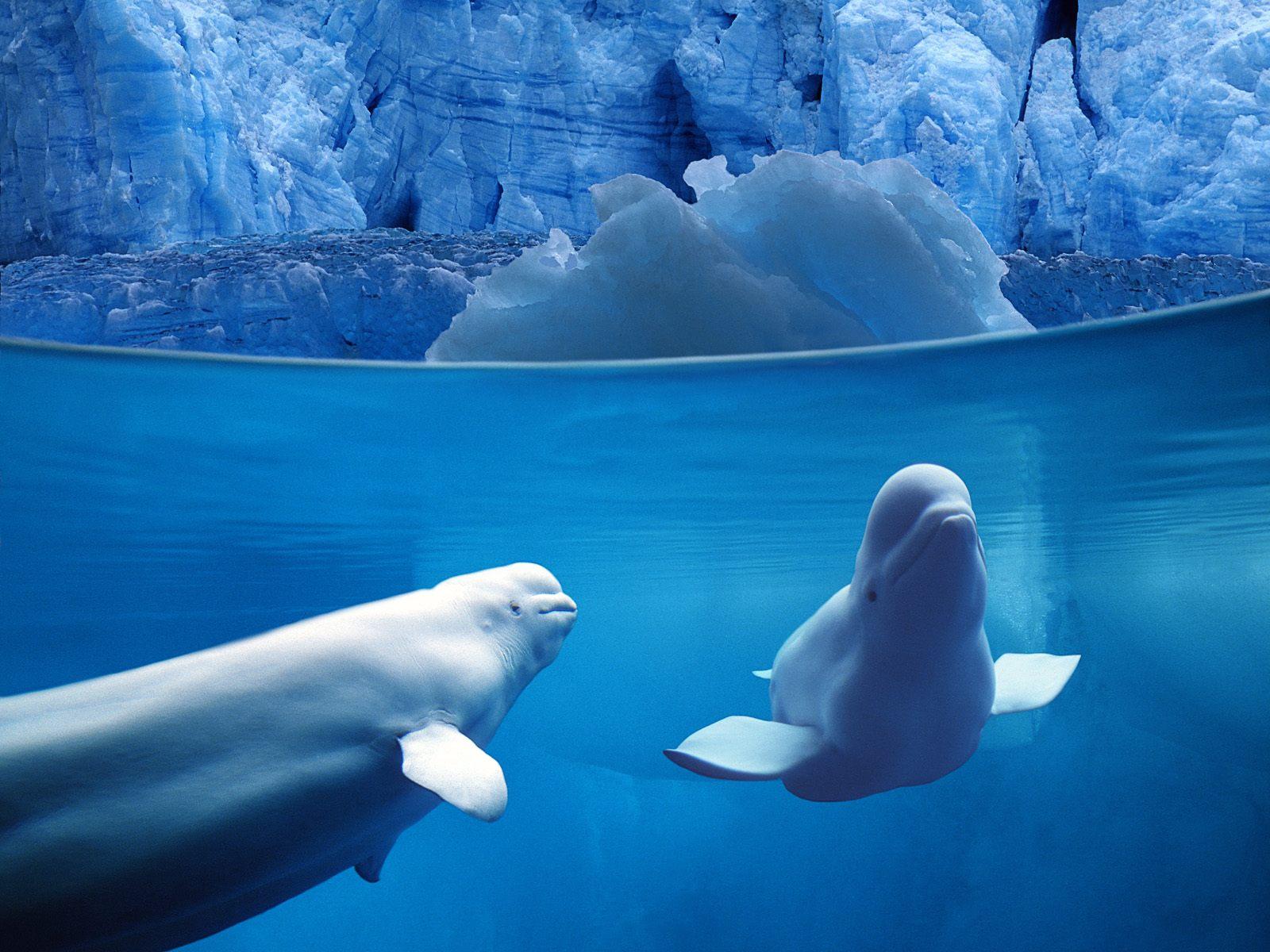 Beluga Whale Wallpapers hd