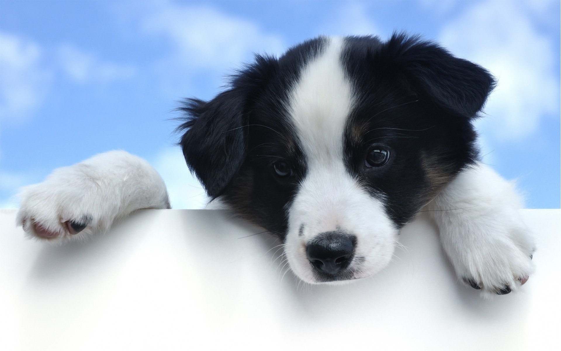 Border Collie Pictures