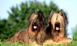 Briard Wallpapers hd