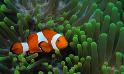 Clownfish Wallpapers hd