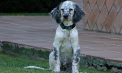 English setter Wallpapers hd