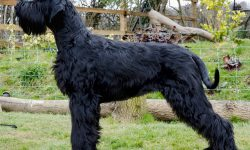 Giant Schnauzer Wallpapers hd