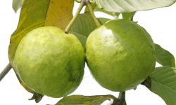 Guava for mobile