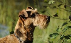 Irish Terrier Pictures
