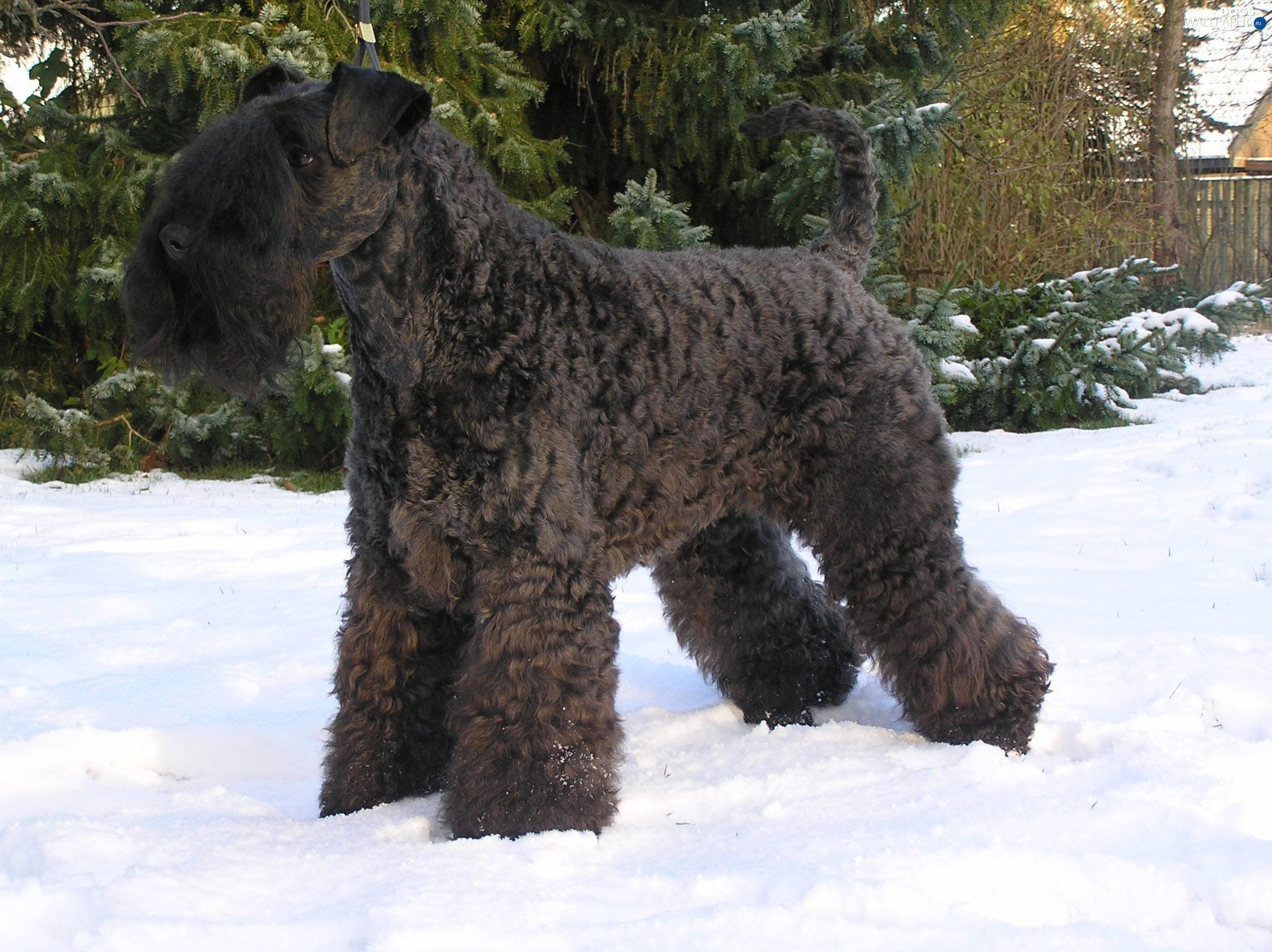 Kerry Blue Terrier Wallpapers hd