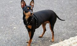 Miniature Pinscher Wallpapers hd