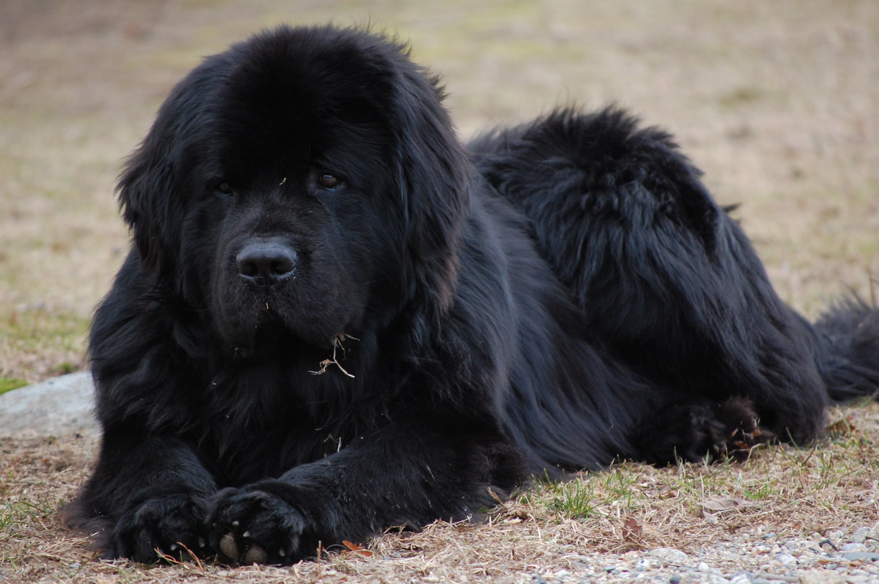 Newfoundland Dog Wallpapers hd