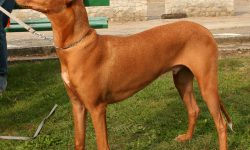 Pharaoh hound Wallpapers hd