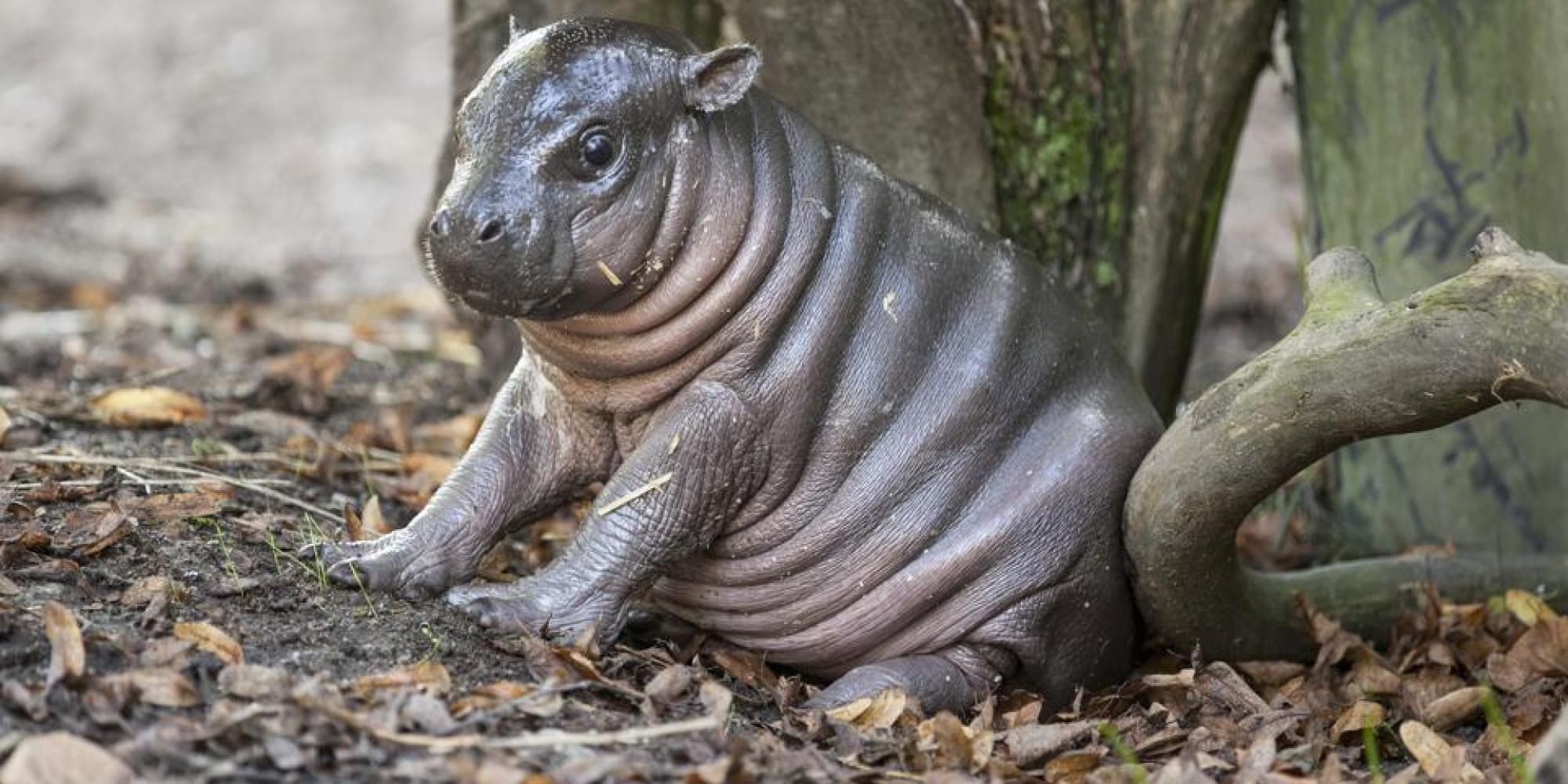Pygmy hippopotamus Wallpapers hd