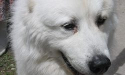 Pyrenean Mountain Dog Pictures
