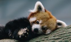 Red panda Wallpapers hd