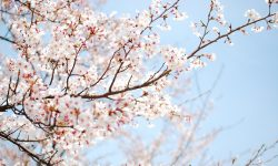 Sakura flower Wallpapers hd
