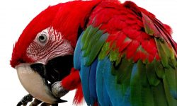 Scarlet macaw Wallpapers hd