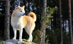 Akita Inu Backgrounds